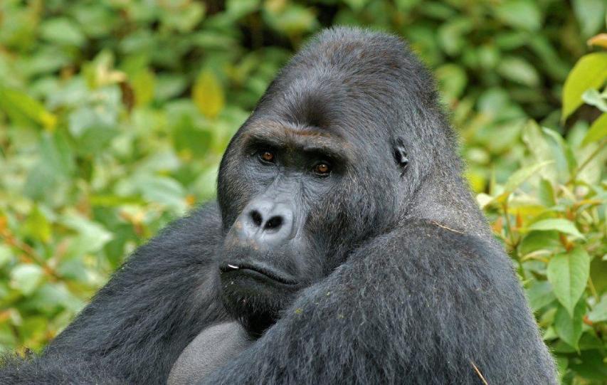 uccide un raro esemplare di gorilla