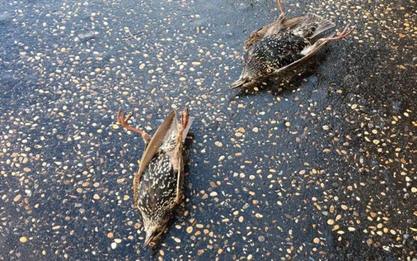 uccelli morti capodanno roma lav