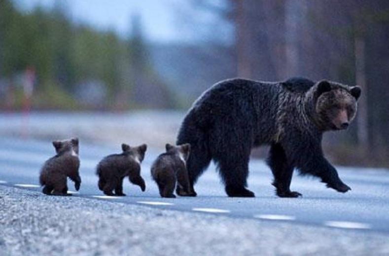 orso marsicano amarena autostrada dei parchi