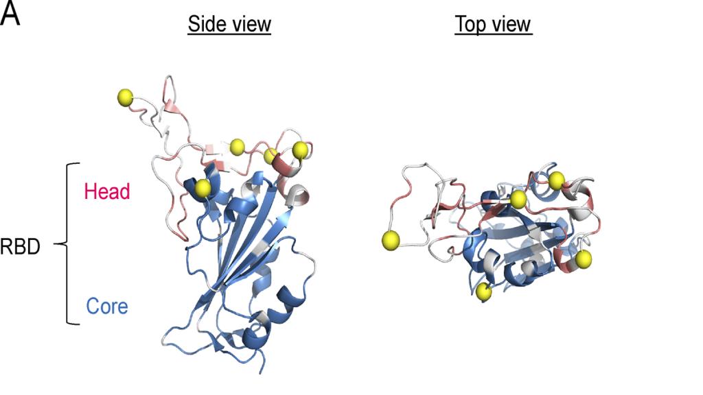 supervaccino, struttura della proteina spike